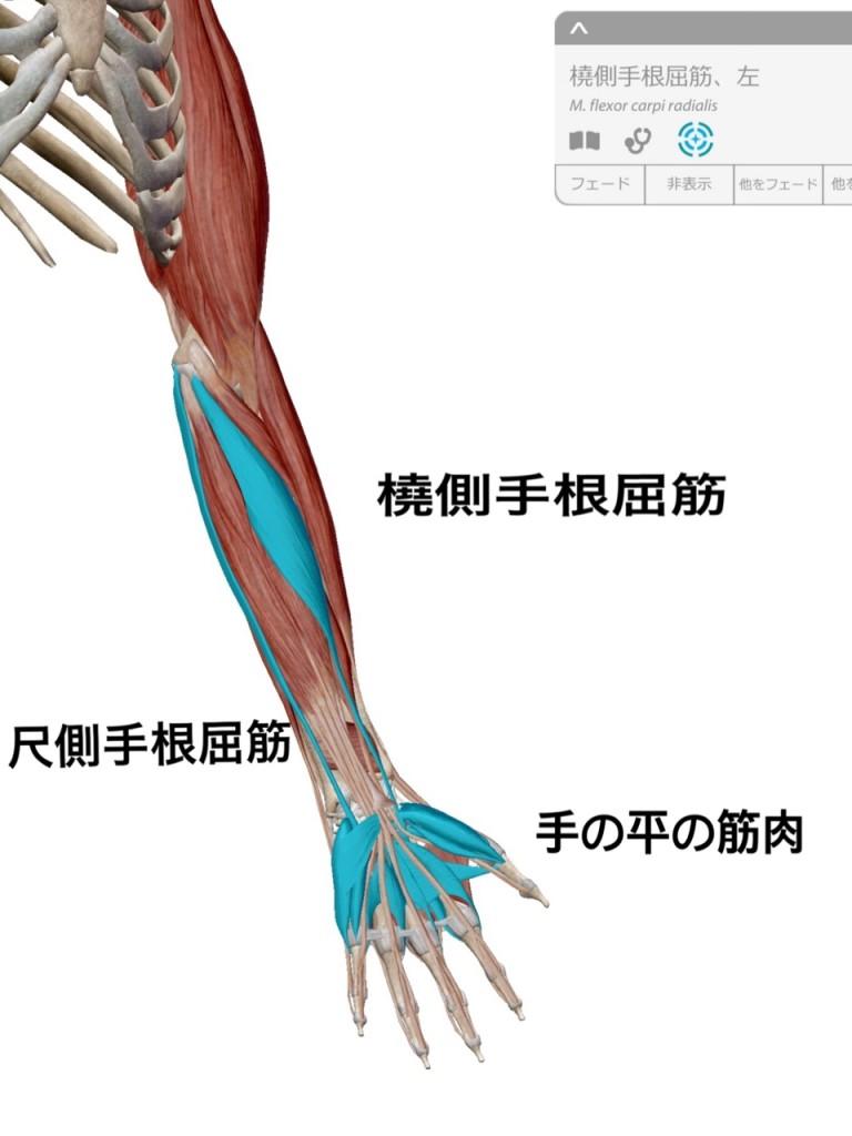 関節トレーニング(関トレ)橈側手根屈筋、尺側手根屈筋、手内在筋