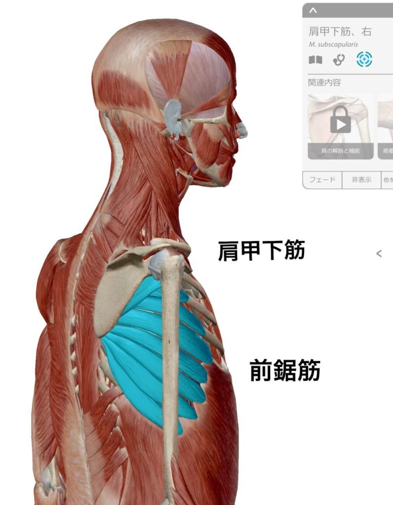 関節トレーニング(関トレ)肩甲下筋と前鋸筋