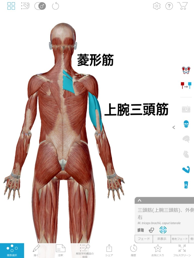 関節トレーニング(関トレ)菱形筋と上腕三頭筋
