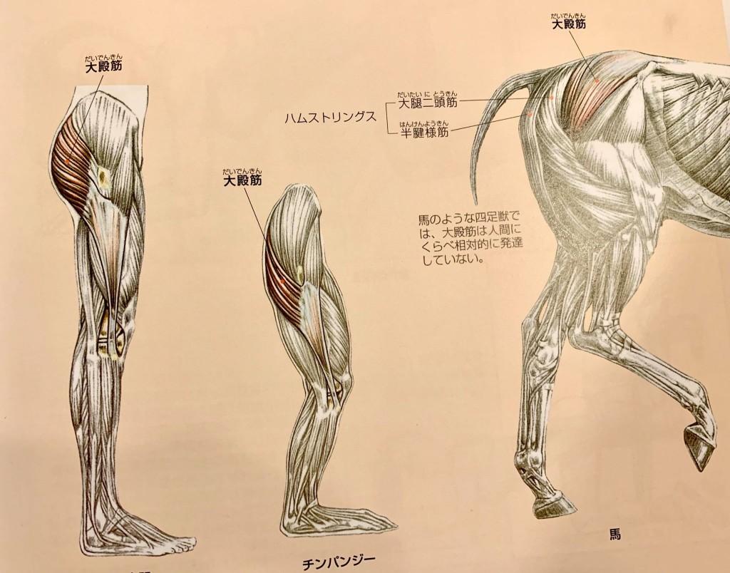 大臀筋、ヒップアップ、大腿四頭筋